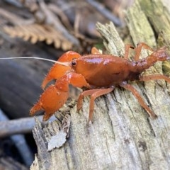 Engaeus cymus (Blunt Nosed Burrowing Crayfish.) at Coree, ACT - 23 Jul 2020 by Sal_moy7