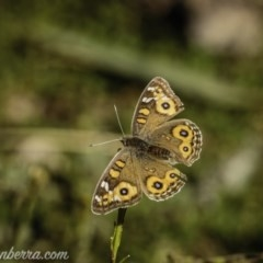 Junonia villida (Meadow Argus) at Red Hill Nature Reserve - 17 Jul 2020 by BIrdsinCanberra