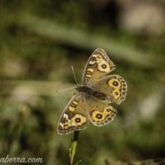 Junonia villida (Meadow Argus) at Red Hill Nature Reserve - 17 Jul 2020 by BIrdsinCanberra