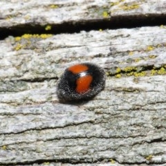 Diomus notescens (Two-spotted ladybird) at ANBG - 28 Jul 2020 by TimL