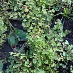 Adiantum aethiopicum (TBC) at FS Private Property - 31 Jul 2020 by Stewart