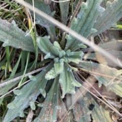 Plantago varia (Native Plaintain) at Hughes, ACT - 31 Jul 2020 by KL