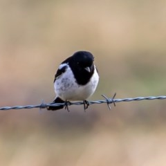 Melanodryas cucullata (Hooded Robin) at Tennent, ACT - 1 Aug 2020 by JohnHurrell