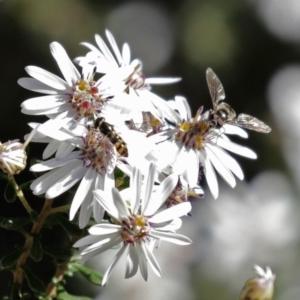 Melangyna viridiceps at ANBG - 31 Jul 2020