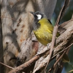 Nesoptilotis leucotis (White-eared Honeyeater) at ANBG - 31 Jul 2020 by RodDeb