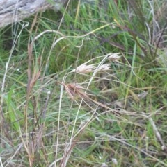 Themeda triandra (Kangaroo Grass) at - 30 Jul 2020 by ClaireSee