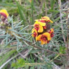 Dillwynia sericea (Egg And Bacon Peas) at Albury, NSW - 30 Jul 2020 by ClaireSee
