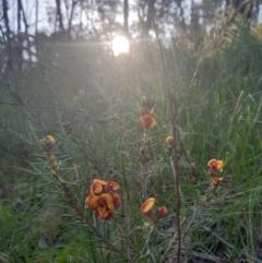 Dillwynia sericea at Monument Hill and Roper Street Corridor - 31 Jul 2020