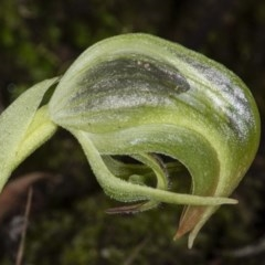 Pterostylis nutans (Nodding greenhood) at Downer, ACT - 18 Jul 2020 by DerekC