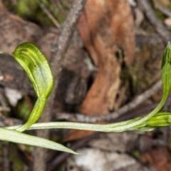 Bunochilus umbrinus (Broad-sepaled Leafy Greenhood) at Downer, ACT - 18 Jul 2020 by DerekC