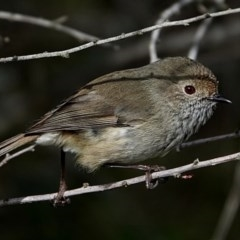 Acanthiza pusilla (Brown Thornbill) at Brogo, NSW - 1 Aug 2020 by MaxCampbell
