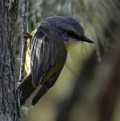 Eopsaltria australis (Eastern Yellow Robin) at Brogo, NSW - 1 Aug 2020 by MaxCampbell