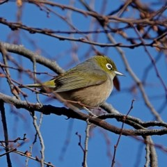 Zosterops lateralis (Silvereye) at Brogo, NSW - 29 Jul 2020 by MaxCampbell
