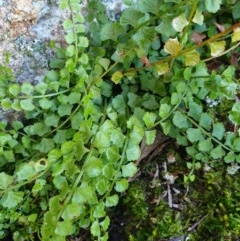 Asplenium flabellifolium (Necklace Fern) at Budginigi - 1 Aug 2020 by ClaireSee