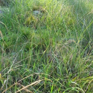 Microlaena stipoides at Budginigi - 2 Aug 2020