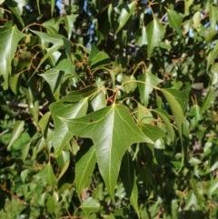 Brachychiton populneus subsp. populneus (Kurrajong) at Budginigi - 1 Aug 2020 by ClaireSee