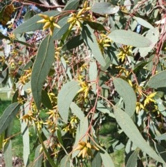 Eucalyptus blakelyi (Blakely's Red Gum) at Budginigi - 1 Aug 2020 by ClaireSee