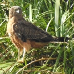 Circus approximans (Swamp Harrier) at Berry, NSW - 1 Aug 2020 by Andrejs