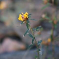 Pultenaea linophylla (Halo bush-pea) at Moruya, NSW - 2 Aug 2020 by LisaH