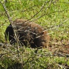 Vombatus ursinus (Bare-nosed Wombat) at Wattamolla, NSW - 20 Jul 2020 by Andrejs