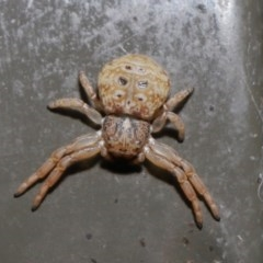 Cymbacha ocellata (Facemask crab spider) at Acton, ACT - 2 Aug 2020 by TimL