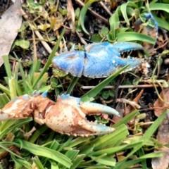Euastacus sp. (genus) (Spiny crayfish) at Paddys River, ACT - 2 Aug 2020 by SuziBond