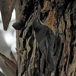 Cormobates leucophaea at Brogo, NSW - 3 Aug 2020
