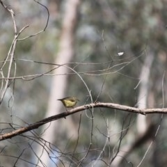 Acanthiza reguloides (Buff-rumped Thornbill) at Springdale Heights, NSW - 2 Aug 2020 by PaulF