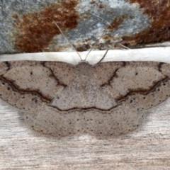Taxeotis perlinearia (Spring Taxeotis) at Guerilla Bay, NSW - 31 Jul 2020 by jbromilow50