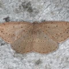 Taxeotis intextata (Grey Taxeotis) at Guerilla Bay, NSW - 31 Jul 2020 by jbromilow50