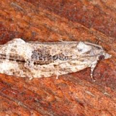 Thrincophora lignigerana (A Tortricid moth) at Guerilla Bay, NSW - 31 Jul 2020 by jbromilow50