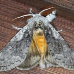 Calliteara pura (Perfect Tussock Moth) at Guerilla Bay, NSW - 30 Jul 2020 by jbromilow50