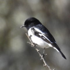 Melanodryas cucullata (Hooded Robin) at Old Naas TSR - 3 Aug 2020 by HelenCross