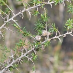 Leptospermum arachnoides (Spidery tea-tree) at Wogamia Nature Reserve - 3 Aug 2020 by plants