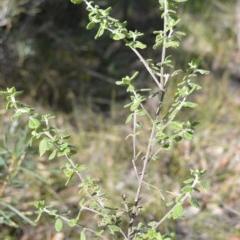 Prostanthera incana (Velvet Mint-bush) at Wogamia Nature Reserve - 3 Aug 2020 by plants