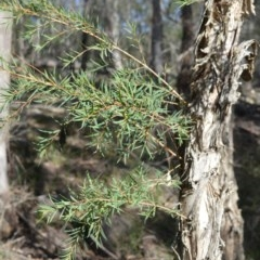 Melaleuca linariifolia (Snow-in-summer, Flax-leaved paperbark, Budjur) at Wogamia Nature Reserve - 3 Aug 2020 by plants