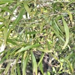 Acacia implexa (Hickory, Lightwood) at Bamarang, NSW - 3 Aug 2020 by plants