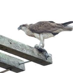 Pandion haliaetus (Osprey) at Merimbula, NSW - 3 Aug 2020 by Leo