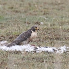 Falco peregrinus (Peregrine Falcon) at Panboola - 3 Aug 2020 by Leo