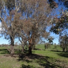 Eucalyptus melliodora (Yellow Box) at Bowning, NSW - 29 Jul 2020 by AndyRussell