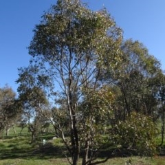 Eucalyptus blakelyi (Blakely's Red Gum) at Bowning, NSW - 29 Jul 2020 by AndyRussell