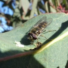 Melangyna viridiceps (Hover fly) at Bowning, NSW - 29 Jul 2020 by AndyRussell