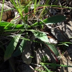 Plantago varia (Native Plaintain) at Bowning, NSW - 29 Jul 2020 by AndyRussell