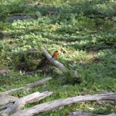 Petroica phoenicea (Flame Robin) at Albury - 3 Aug 2020 by PaulF