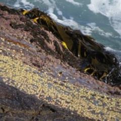 Durvillaea potatorum (Bull Kelp) at Ben Boyd National Park - 2 Aug 2020 by LizAllen