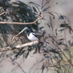 Melanodryas cucullata (Hooded Robin) at Tennent, ACT - 4 Aug 2020 by RodDeb