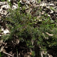 Dillwynia sp. at Bowning, NSW - 29 Jul 2020 by AndyRussell