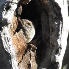 Aegotheles cristatus (Australian Owlet-nightjar) at ANBG - 4 Aug 2020 by HelenCross