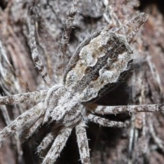 Tamopsis fickerti (Two-tailed spider) at ANBG - 4 Aug 2020 by TimL