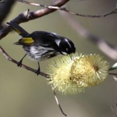 Phylidonyris novaehollandiae (New Holland Honeyeater) at Guerilla Bay, NSW - 2 Aug 2020 by jbromilow50